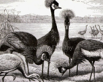 Black Crowned Crane Bird Africa Vintage Victorian Ornithology 1870s Black & White Natural History Engraving To Frame