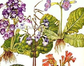 Streptocarpus Flowering Plants South Africa Botanical Exotica Poster Print Vintage Illustration To Frame 82