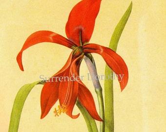 Amaryllis Sprekelia Formosissima Vintage Flower Redoute Botanical Lthograph Poster Print To Frame 16
