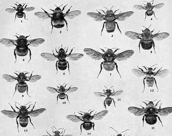 Bee Chart Edwardian Entomology 1907 Natural History Rotogravure Illustration Of Insects To Frame II