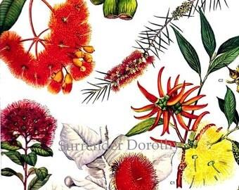 Eucalyptus & Gum Flowers Australia Plants Botanical Exotica 1969 Large Vintage Litho Illustration To Frame 137