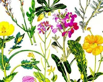Yellow Poppy & Stock Flowers Papaveraceae Cruciferae Mediterranean Botanical Exotica Vintage Illustration To Frame 30
