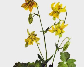 Yellow Columbine Wild Flowers Vintage 1955 Botanical Herbal Lithograph Art  Print To Frame 112