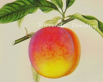 Crawford Late Peach Prestele Vintage Agriculture Poster Print  Botanical Lithograph To Frame 225
