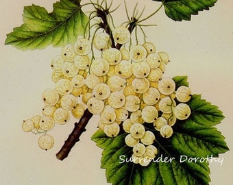 White Currant Grape Prestele Vintage Agriculture Poster Print  Botanical Lithograph To Frame 247