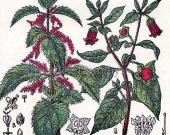 Rosemary Mullein Nettle Belladonna 1907 Vintage Healing Medicinal Plants Herbalist Print Edwardian Botanical Chart XIII