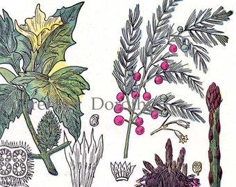 Hops Asparagus Marshmallow Thorn Apple Botanical Chart 1907 Healing Medicinal Plants Herbalist Antique Print VI