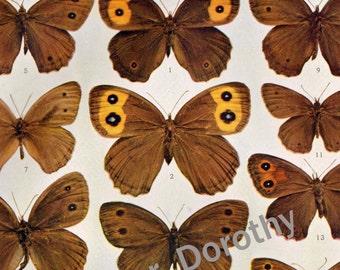 Satyrus Butterflies1900 Edwardian Entomology  Vintage Insect Natural History Rotogravure Illustration XXVI