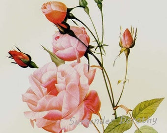 Chinese Pink Rose Redoute Rosa Chinensis Vintage Flower Botanical Lithograph Poster Print To Frame 38