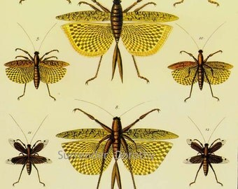 Katydid & Praying Mantis Insects Vintage Seba Entomology Natural History Bug Lithograph Chart Poster Print