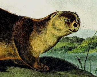 Canada Otter Audubon Vintage Wild Animal Natural History Lithograph Print To Frame