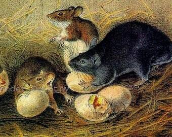 Black Rat Lithograph Audubon Vintage Wild Animal Natural History Print To Frame