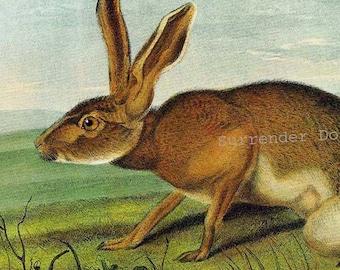 Texan Hare John J Audubon Wild Animal Natural History Lithograph Print To Frame