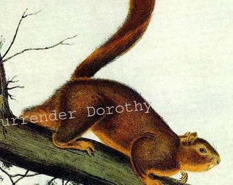 Red Tailed Squirrel Audubon Vintage Wild Animal Lithograph Natural History To Frame