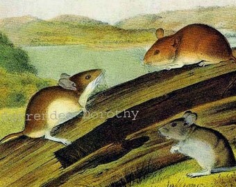 White Footed Mouse Audubon Wild Animal Color Lithograph Natural History Print To Frame