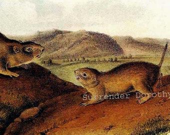 Ground Squirrels John J Audubon Vintage Wild Animal Art Print Natural History Lithograph To Frame