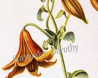 Canada Lily Flowers Vintage Botanical Lithograph 1950s Art  Print To Frame 23