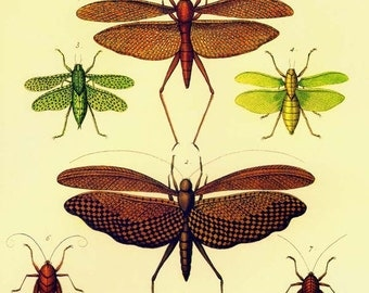 Grasshopper Katydid & Walking Sticks Insects Seba Entomology Natural History Bug Lithograph Chart Poster Print