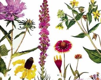 Laitris Coneflower Aster Flower Central North America Botanical Exotica Large Vintage Illustration To Frame 165