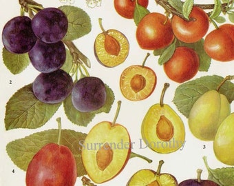 Sweet Plums Fruit Chart Food Botanical Lithograph Illustration For Your Vintage Kitchen 69