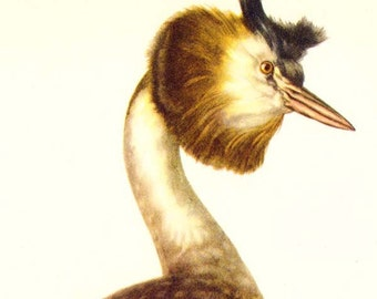 Great Crested Grebe Bird British Ornithology Natural History Lithograph Print 1960s Illustration To Frame 64