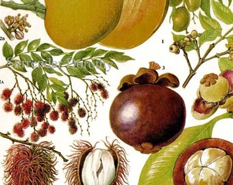 Mango Rambutan Mangosteen Tropical Fruit Chart Food Botanical Lithograph Illustration For Your Vintage Kitchen 101