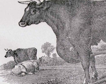 Stort Horn Cow & Bull 1892 Victorian Cattle Husbandry Antique Engraving European Agriculture Chart To Frame