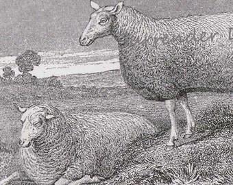 Leichester Sheep Ram & Ewe 1892 Victorian Husbandry Antique European Agriculture Chart To Frame