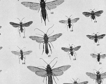 Saw Flies & Horntails Entomology Natural History 1907 Rotogravure Illustration Chart Of Pesky Insects To Frame XIX