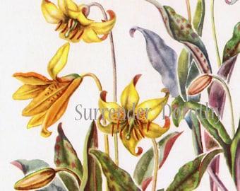 Dogtooth Violet Flowers Vintage Botanical Lithograph Print To Frame 1950s 20