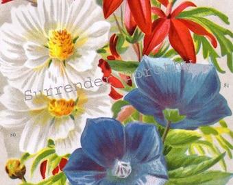 Lobelia Cosmos & Platycodon Vintage Flowers 1922 Jazz Age Botanical Lithograph For Framing