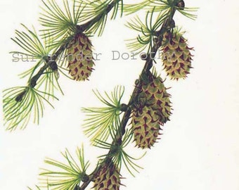 Western larch etsy western larch cones limber pine tree pinecones vintage home decor 1955 botanical lithograph art print sciox Image collections