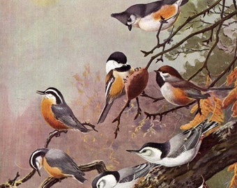 Chickadee Nuthatch Family Bird Color Lithograph Illustration To Frame Allen Brooks Ornithology