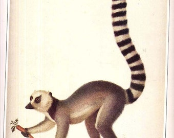 Madagascar Ring-Tailed Lemur Color Natural History Lithograph Print To Frame Painted In 1780