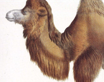 Bactrain Camel Color Lithograph Natural History To FrameLe Chameu De La Bactraine