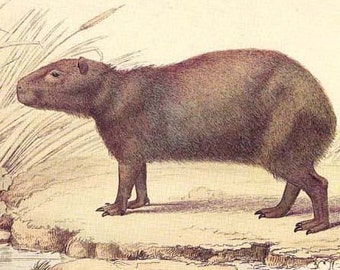 Mister Capybara Lovely Antique Reproduction Engraving From 1831