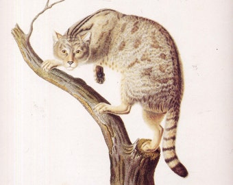 Chat Sauvage/ Wild Cat Antique Reproduction Lithograph Natural History Print To Frame