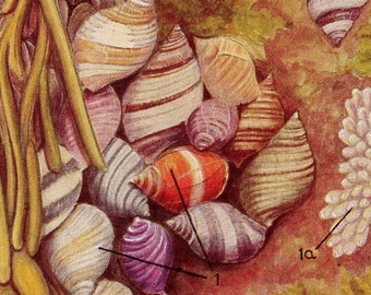 Periwinkle Shells Vintage Natural History Life Study Chris Olsen