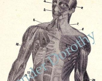 Muscle Man Human Anatomy Chart Anterior View Roaring Twenties