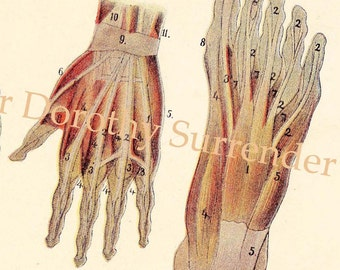 Human Anatomy Hand Foot Back Muscle Chart Vintage Medical Lithograph Illustration To Frame