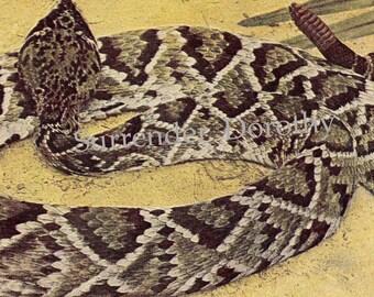 Diamondback Rattlesnake Herpetology Vintage Natural History Edwardian Era 1907 Tinted Rotogravure To Frame