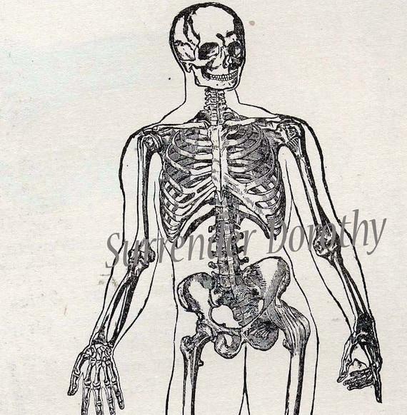 Skeleton Man Anterior View Antique Human Anatomy Edwardian Medical Chart To Frame 1908