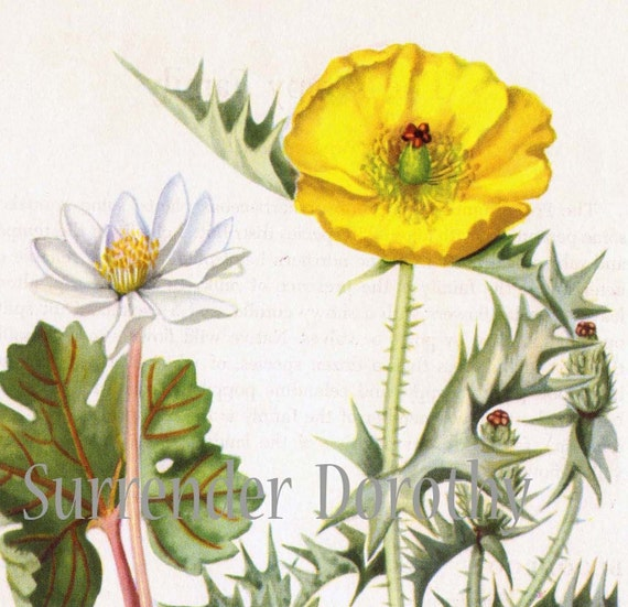 Bloodroot Prickly Poppy Flowers Vintage Botanical Lithograph 1950s Art  Print To Frame 69