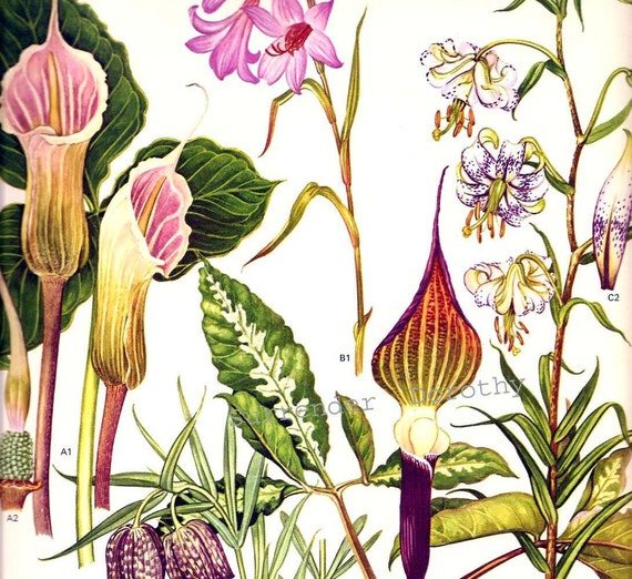Pitcher Plant and Lily Flowers Himalayan China Botanical Exotica 1969 Large Vintage Illustration To Frame 108