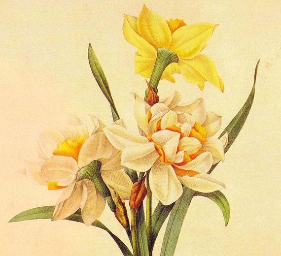 Narcissus Incomparabilis Double Flowers Bouquet Vintage