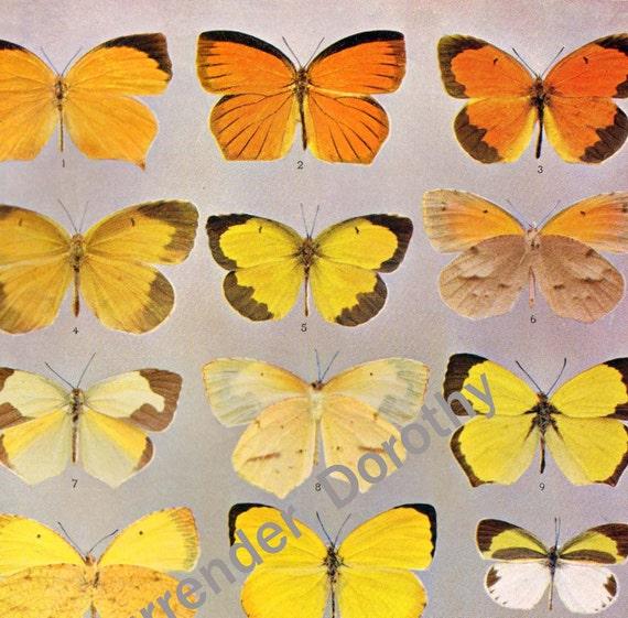 Terias Butterflies 1900 Edwardian Entomology Antique Natural History Rotogravure Art Illustration To Frame XXXVII