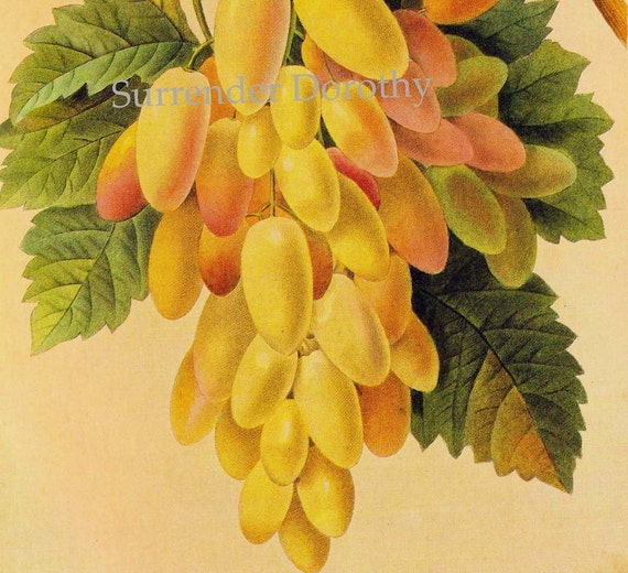 White Grapes Vitis Vinifera Redoute Vintage Fruit Botanical Lithograph Print To Frame 143