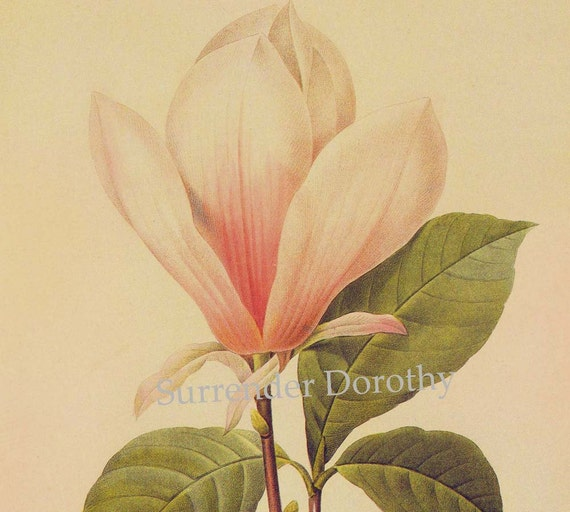 Magnolia Soulangiana Flower Vintage Poster Print Redoute Botanical Lithograph To Frame 35