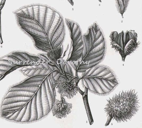 European Beech Tree Leaf Catkin Nut Vintage Victorian Beechnut  1887 Naturalist Engraving  Botanical Illustration