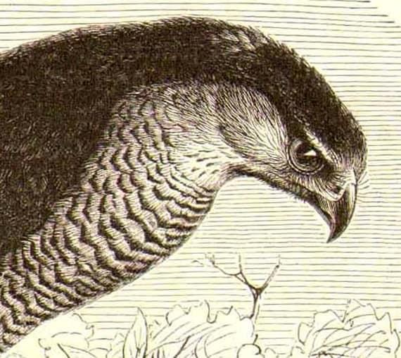 Eurasian  Sparrowhawk, Accipiter nisus Antique Engraved Illustration 1905 Edwardian Vintage Natural History To Frame